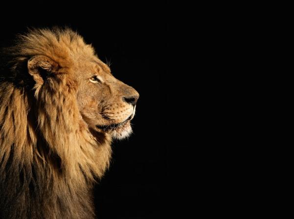 Lion etoile de venus